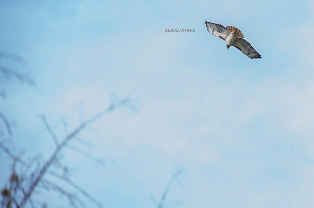 AlainaNunezPhotography.redtailedhawk-WEB