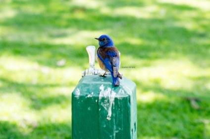 AlainaNunezPhotography.BlueBird.WEB-1